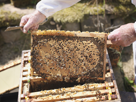 Beekeeper inspects honey comb LANG_EVOIMAGES