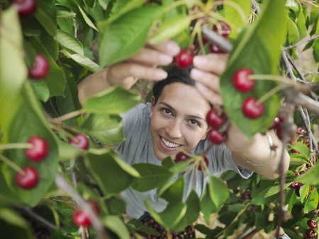 selections: Woman picking cherries from tree