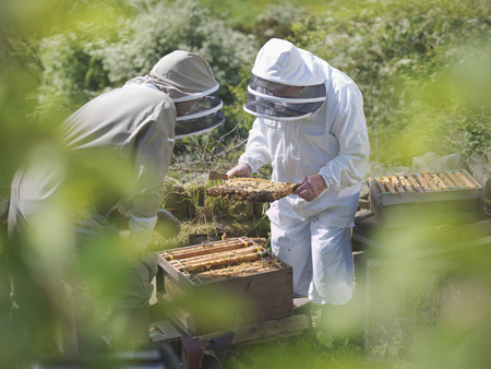 jeopardizing: Beekeepers inspect bee hive