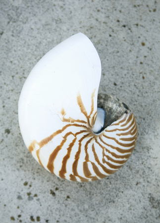 uncomplicated: Nautilus Shell,still life