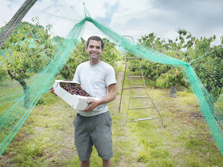 selections: Man in orchard holding box of cherries LANG_EVOIMAGES