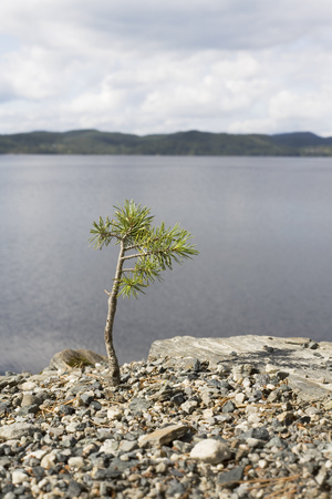 Young pine tree by a lake