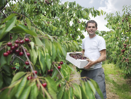 joyous: Man in orchard holding box of cherries LANG_EVOIMAGES