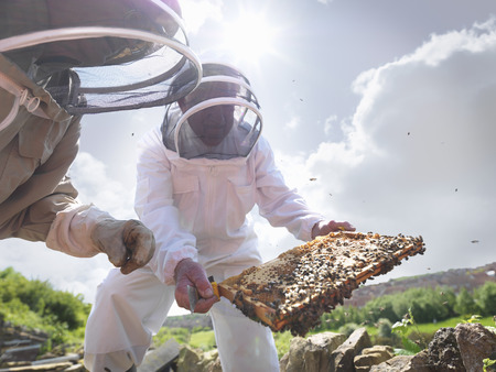 jeopardizing: Beekeepers inspect honey comb LANG_EVOIMAGES