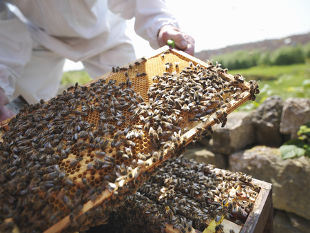 jeopardizing: Beekeeper inspects bee hive