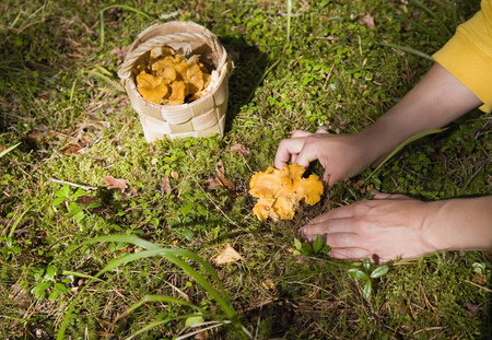 Woman picking chanterelle mushrooms LANG_EVOIMAGES