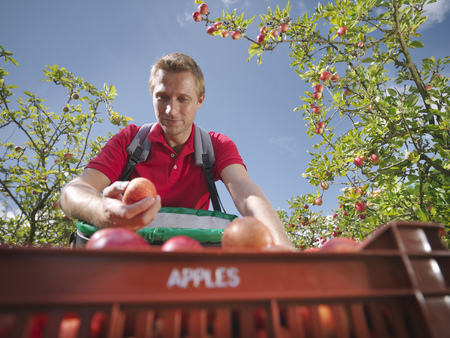 Farmer picking apples in orchard LANG_EVOIMAGES