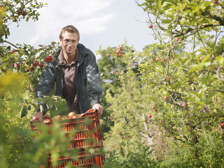 personas reunidas: Farmer with crate of apples in orchard LANG_EVOIMAGES