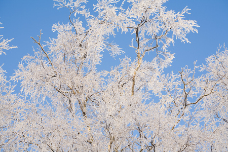 snows: Birch tree branches covered with frost