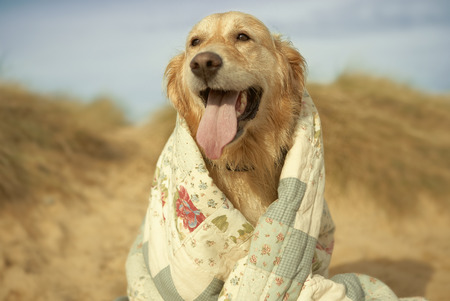 sopping: Portrait dog on beach under quilt. Fall LANG_EVOIMAGES