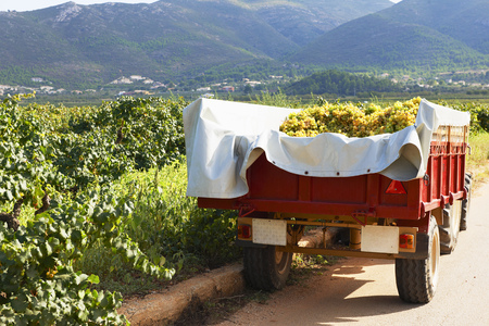 advancing: Tractor and trailer full of grapes