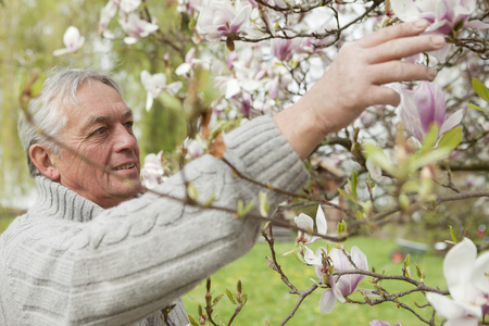Older man examining magnolias on tree LANG_EVOIMAGES