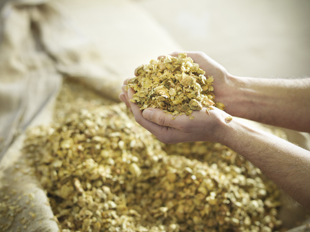 Hands holding hops in brewery LANG_EVOIMAGES