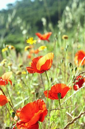 advancing: Flowering Poppies growing wild