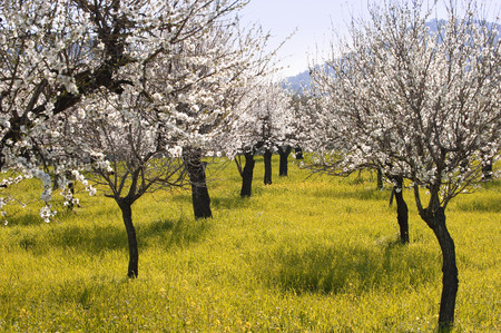 An Almond tree orchard in bloom