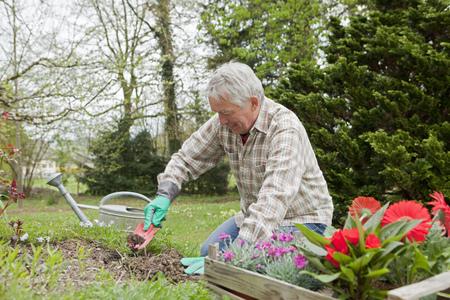 agachado: Hombre mayor plantar flores en el patio trasero