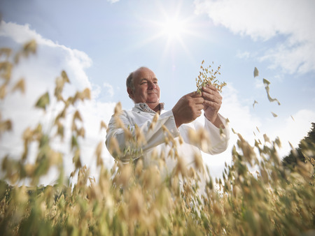 advances: Scientist examining oat stalks in field LANG_EVOIMAGES