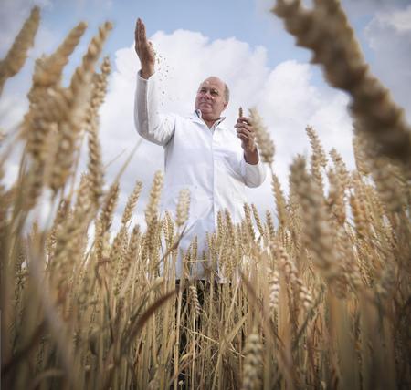 Scientist examining wheat grain in field