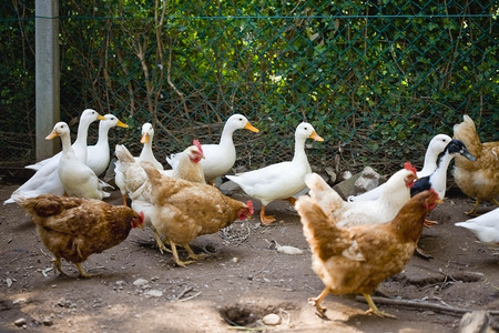 egglayer: Ducks and chickens walking on dirt path