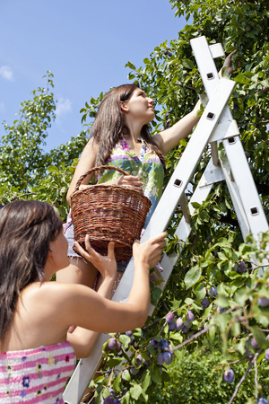 Women picking fruit from tree in orchard