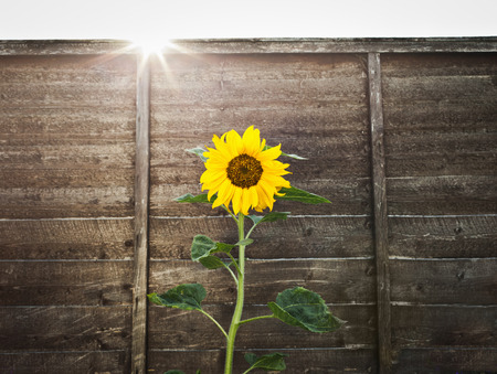 advances: Sunflower growing by wooden wall