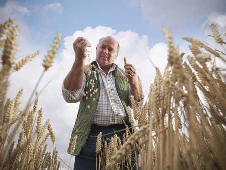 advances: Farmer examining wheat grain in field