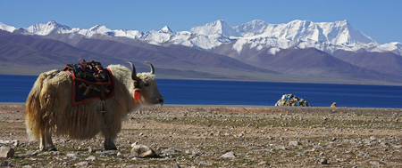 White yak grazing in rocky landscape LANG_EVOIMAGES