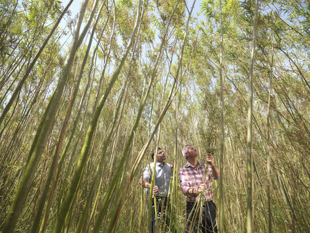 tend: Farmers examining biomass fuel crop
