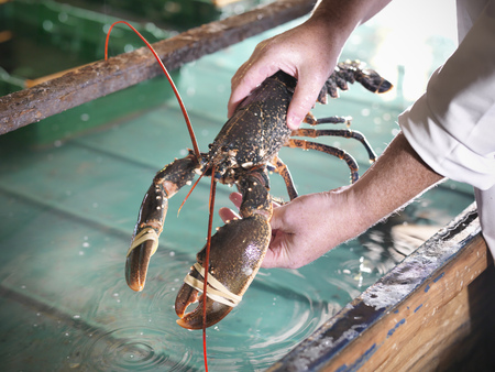 arms lifted up: Worker holding lobster in plant LANG_EVOIMAGES