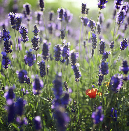 flowered: Close up of lavender flowers