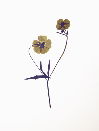 yellows: Close up of dried flower specimen