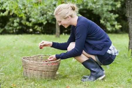 agachado: Woman picking cherries in orchard