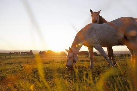mornings: Hose grazing in rural field