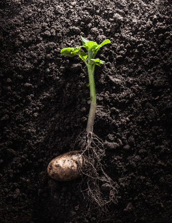 struggled: Potato with roots and leaves in dirt