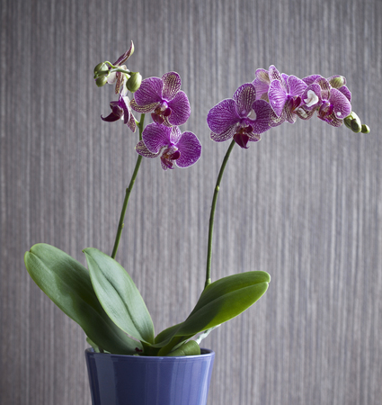 flowered: Potted orchid flower indoors
