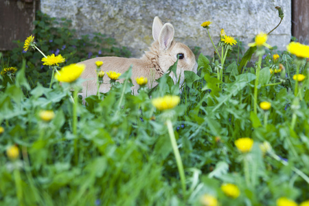 furs: Rabbit hiding in dandelion flowers