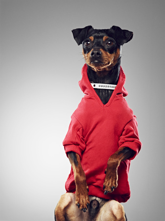 pullovers: Dog wearing hooded sweatshirt LANG_EVOIMAGES