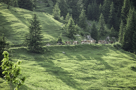 Cows walking along grassy hillside