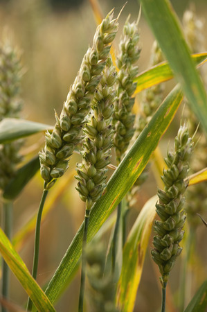 advancing: Close up of ears of wheat