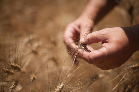 retiring: Close up of hands examining wheat stalks LANG_EVOIMAGES