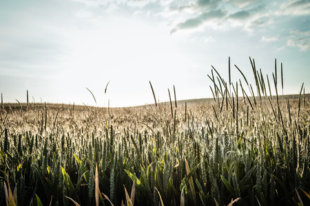 advancing: Field of tall grass under blue sky LANG_EVOIMAGES