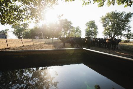 blacks: Cows in field by water tank