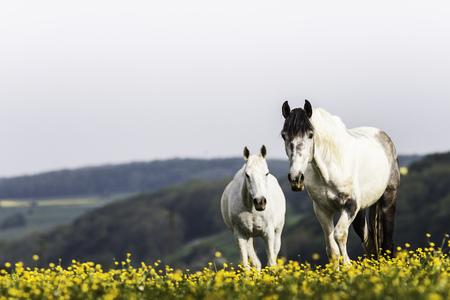 advancing: White horses walking in field of flowers