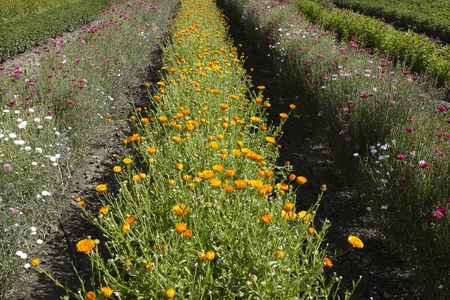 summers: Rows of colorful flowers in field LANG_EVOIMAGES