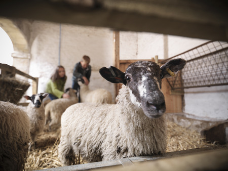Close up of sheep in barn LANG_EVOIMAGES