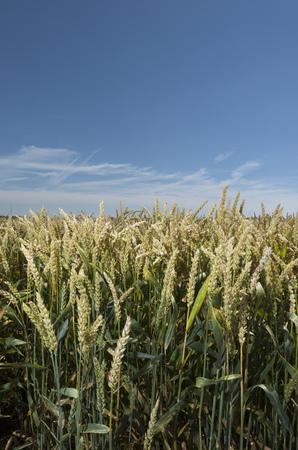 advancing: Wheat stalks in field under blue sky