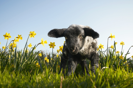 Lamb walking in field of flowers LANG_EVOIMAGES