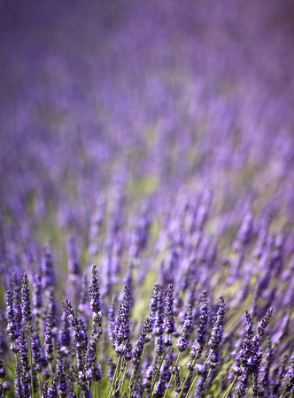 flowered: Close up of purple flowers in field LANG_EVOIMAGES