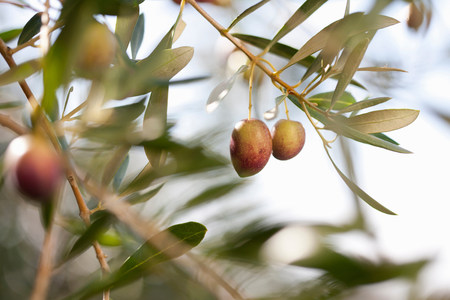 luscious: Olives growing on plant in olive grove,close up LANG_EVOIMAGES