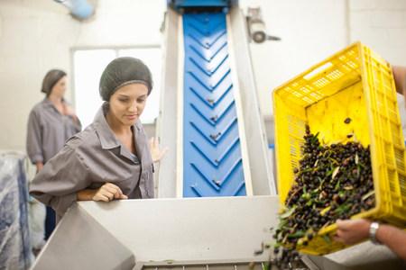 Pouring crate of olives onto conveyor belt LANG_EVOIMAGES